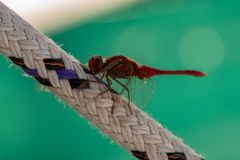 Resting dragonfly royalty free stock photography