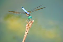 Resting dragonfly. On a branch Royalty Free Stock Photos