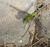 Resting dragonfly Royalty Free Stock Images