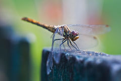 Resting dragonfly Stock Image