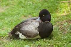 Resting duck Stock Photography