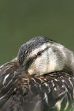 Resting duck portrait Stock Images