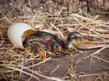 Resting duckling after hatch Stock Photo