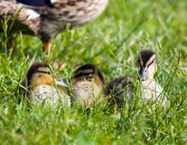 Resting Ducklings. Three cute mallard ducklings rest in the grass in front of their mother Stock Image
