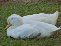 Resting Ducks Royalty Free Stock Photography