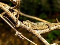 Resting Dwarf Chameleon Royalty Free Stock Photo