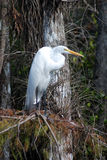 Resting Egret Royalty Free Stock Photography