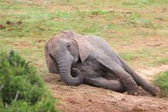 Resting Elephant Stock Images
