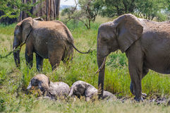 Resting elephant calves in Tarangire Park, Tanzania Royalty Free Stock Photography