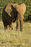 Resting elephant Royalty Free Stock Images