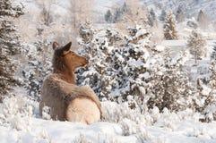 Resting Elk Royalty Free Stock Photos