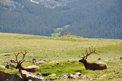 Resting Elk. Elk resting on side of a cliff royalty free stock images