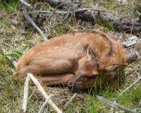 Resting elk calf Stock Image