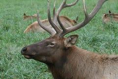 Resting Elk Stock Photos