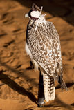 Resting Falcon Royalty Free Stock Photo