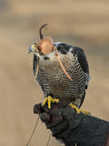 Resting Falcon Royalty Free Stock Images