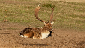 Resting Fallow buck. Photo of a Fallow buck resting royalty free stock images