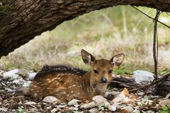 Resting Fallow Deer. At GarnerState Park in Texas royalty free stock images