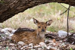 Resting Fallow Deer. At GarnerState Park in Texas stock photography