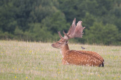 Resting fallow deer Stock Photos