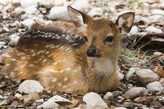 Resting Fallow Deer. At GarnerState Park in Texas royalty free stock photography