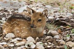 Resting Fallow Deer. At GarnerState Park in Texas stock images