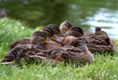 Resting family of mallaed ducks near a pond Royalty Free Stock Photos