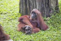 Resting female of Borneo orangutan Pongo pygmaeus Royalty Free Stock Images