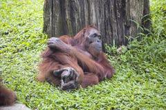 Resting female of Borneo orangutan Pongo pygmaeus Royalty Free Stock Photos