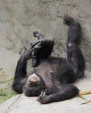 Resting Female Chimpanzee Royalty Free Stock Photos