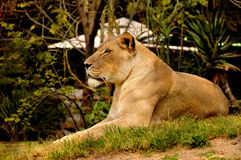 Resting female lion. In a grassy area Stock Photography