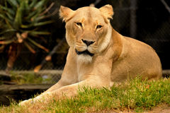 Resting female lion. In a grassy area Royalty Free Stock Photography