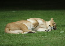 Resting female lion Royalty Free Stock Photography