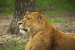Resting female lion in a meadow Royalty Free Stock Photography