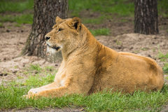 Resting female lion in a meadow Royalty Free Stock Images
