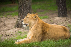 Resting female lion in a meadow Stock Photography