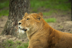 Resting female lion in a meadow Royalty Free Stock Image