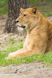 Resting female lion in a meadow Stock Photos