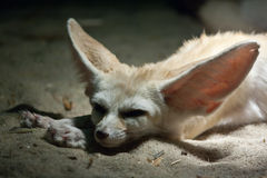 Resting fennec fox Royalty Free Stock Photos