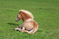 Resting Filly Royalty Free Stock Photo