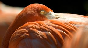 Resting flamingo. A flamingo resting its head on its wing Stock Image
