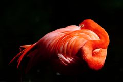 Resting flamingo Stock Image