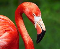 Resting flamingo Royalty Free Stock Images
