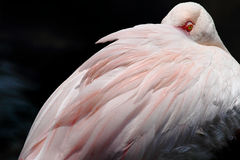 Resting Flamingo. Flamingo Bird position while resting, head buried between wings Stock Photography