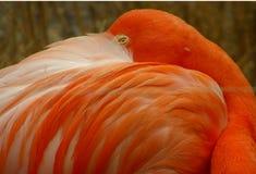 Resting flamingo Royalty Free Stock Image