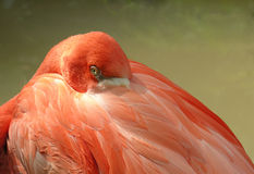 A Resting Flamingo Chick, Tampa Stock Images