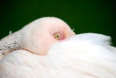 Resting Flamingo Portrait Royalty Free Stock Photos