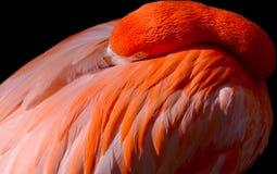 Resting Flamingo Stock Photo