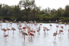 Resting flamingos in the Camargue, France royalty free stock photos