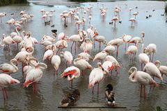 Resting flamingos and ducks, Camargue, France royalty free stock photo
